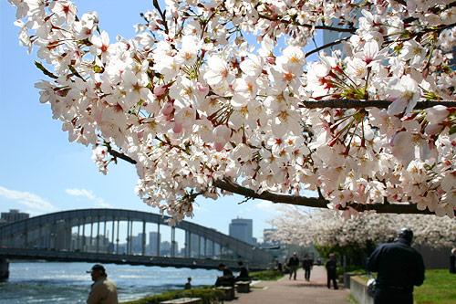 勝どき橋と桜の写真