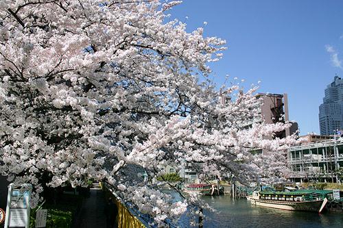 運河の桜の写真