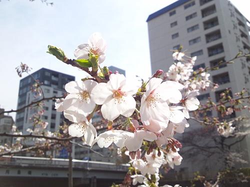 川縁の桜のステキな写真