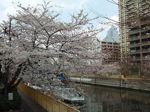 勝どきの桜2008