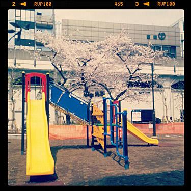 佐久間公園の桜