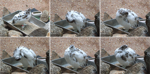雷鳥カワイイヨ雷鳥 の写真2